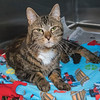 """James Neiss/staff photographer <br /> Sanborn, NY -Leo is a 3 year old happy kitty looking for his forever home. As the newspaper Pet of the Week, his adoption fee is half off. <br /> <br /> Contact the SPCA at (716) 731-4368 or  <a href=""""http://www.niagaraspca.org"""">http://www.niagaraspca.org</a> for more information on how you can give a cat or dog their forever home."""