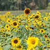 200828 Sunflowers 2<br /> James Neiss/staff photographer <br /> Cambria, NY - Sunflowers show off their sunny faces at Sunflowers Of Sanborn.