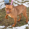 """James Neiss/staff photographer <br /> Sanborn, NY - Amber a 10 month old is ok with cats and kids, making her the perfect pet for any home. As the newspaper Pet of the Week, her adoption fee is half off. <br /> <br /> Contact the SPCA at (716) 731-4368 or  <a href=""""http://www.niagaraspca.org"""">http://www.niagaraspca.org</a> for more information on how you can give a cat or dog their forever home."""