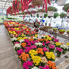 200430 Lockport Enterprise<br /> James Neiss/staff photographer <br /> Lockport, NY - It might be a dull and rainy day outside, but Maura Ruberto found the inside of Hi-Way Transit Carden Center bright and cheery with color as she looks for the perfect plant for her home. Ruberty said all the color took her by surprise and is spending more time there than usual because it makes her feel happy.