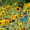 200828 Sunflowers 1<br /> James Neiss/staff photographer <br /> Cambria, NY - Tourists enjoy the day at Sunflowers Of Sanborn.