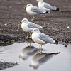 James Neiss/staff photographer <br /> Niagara Falls, NY - Gulls at Hyde Park seemed to have plenty of time to relax and reflect on their day.