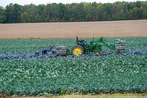 200929 Enterprise<br /> James Neiss/staff photographer <br /> Lockport, NY - Pickers load fresh cabbage onto a tractor from a field in the 3200 block of Ridge Road in Ransomville.