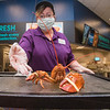 200910 Larry The Lobster 1<br /> James Neiss/staff photographer <br /> Lockport, NY - Lockport Tops Seafood Manager Magie McKenzie shows off Larry the Lobster, a rare orange lobster staff discovered on delivery. They are donating him to the Aquarium of Niagara to live out his life.