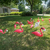 200810 Masked Flamingos 1<br /> James Neiss/staff photographer <br /> Lockport, NY - A Fieldcrest Drive resident had some free time and masked up a dozen Flamingos encouraging those flocking together in public to practice proper social distancing and wear masks to help curb the spread of the COVID-19 virus.