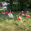 200810 Masked Flamingos 2<br /> James Neiss/staff photographer <br /> Lockport, NY - A Fieldcrest Drive resident had some free time and masked up a dozen Flamingos encouraging those flocking together in public to practice proper social distancing and wear masks to help curb the spread of the COVID-19 virus.