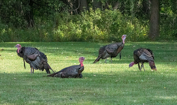 200902 Enterprise 2<br /> James Neiss/staff photographer <br /> North Tonawanda, NY - Turkeys gathered in a field behind the North Tonawanda Fire Headquarters on Zimmerman Street and seemed to be enjoying their day.