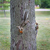200805 Enterprise 5<br /> James Neiss/staff photographer <br /> Niagara Falls, NY - Two squirrels play chase at Deveaux Woods State Park after the pursuer noticed the other had a tasty bit of discarded pizza.