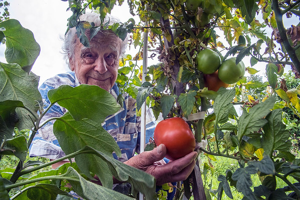200811 Big Tomato<br /> James Neiss/staff photographer <br /> Lockport, NY - Steve Scordalakis of Pennsylvania Ave. shows off one of his extra large 'Beefsteak Hybrid' Tomatoes in his backyard garden.