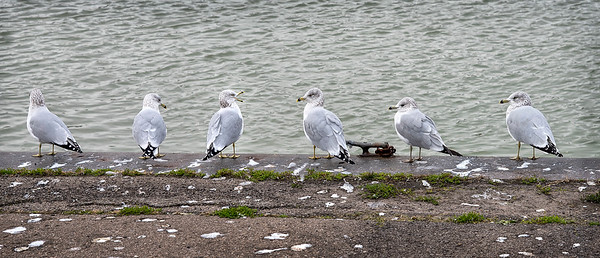 201118 Enterprise 2<br /> James Neiss/staff photographer <br /> Lewiston, NY - A flock of gulls look like they are enjoying the morning shooting the breeze and tell fish stories to each other at Lewiston Landing along the Niagara River.