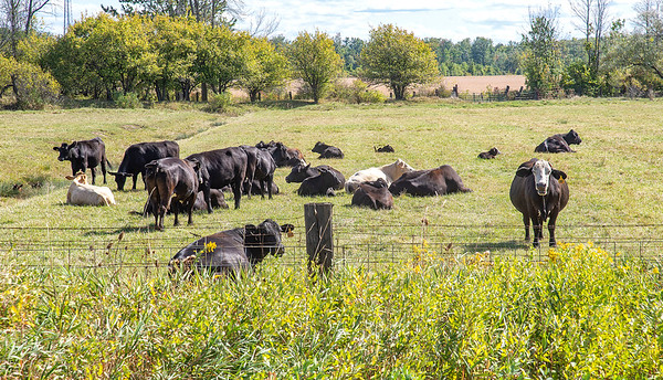 200918 Enterprise<br /> James Neiss/staff photographer <br /> Cambria, NY - It appears to be a lazy lay around in the field day for this herd of beef cows on Saunders Settlement Road in Cambria.