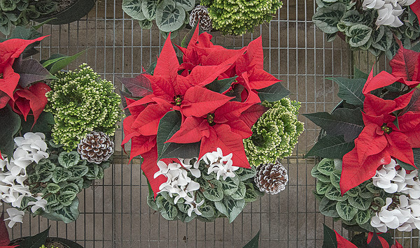 201130 Poinsettia Enterprise 2<br /> James Neiss/staff photographer <br /> Sanborn, NY - It was a sea of color at H. A. Treichler & Sons Greenhouses and Farm after setting up their Poinsettia plants for sale.