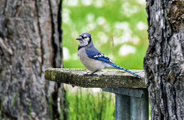 200527 Enterprise 1<br /> James Neiss/staff photographer <br /> Youngstown, NY - A handsome Blue Jay surveys his territory from a picnic table at Old Fort Niagara State Park.