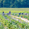 200831 Enterprise<br /> James Neiss/staff photographer <br /> Newfane, NY - Harvest Time - Workers harvest tomatoes in a field off Transit Road.