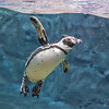 200722 Aquarium Enterprise 1<br /> James Neiss/staff photographer <br /> Niagara Falls, NY - A friendly Penguins at the Aquarium of Niagara appears to give a wave to passing tourists from the new Penguin habitat there.