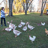 201110 Solar 2<br /> James Neiss/staff photographer <br /> Middleport, NY - Margaret Darroch of Stone Hollow Farm gives her American Buff Geese an afternoon treat. The three chickens hurried over not to be left out.