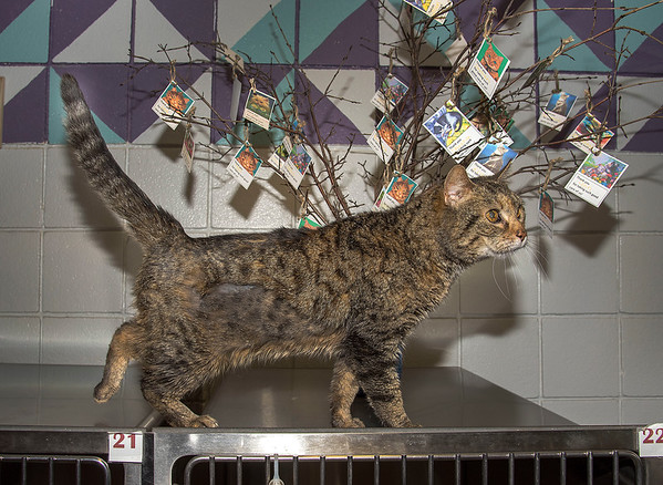 """200304  Pet of the Week<br /> James Neiss/staff photographer <br /> Sanborn, NY - Maia the kitty, 2, can not wait to explore her new forever home and rule as your goddess. As the newspaper Pet of the Week, the right worshipers can adopt her for half off. <br /> <br /> Contact the SPCA at (716) 731-4368 or  <a href=""""http://www.niagaraspca.org"""">http://www.niagaraspca.org</a> for more information on how you can give a cat or dog their forever home."""