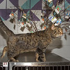"200304  Pet of the Week<br /> James Neiss/staff photographer <br /> Sanborn, NY - Maia the kitty, 2, can not wait to explore her new forever home and rule as your goddess. As the newspaper Pet of the Week, the right worshipers can adopt her for half off. <br /> <br /> Contact the SPCA at (716) 731-4368 or  <a href=""http://www.niagaraspca.org"">http://www.niagaraspca.org</a> for more information on how you can give a cat or dog their forever home."