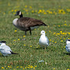 200908 Enterprise 1<br /> James Neiss/staff photographer <br /> North Tonawanda, NY - Two of these are not like the others - Most Western New Yorkers are familiar with the Geese and Gulls, but not this bookend pair of Capsian Terns hanging out at Gratwich Riverside Park in North Tonawanda. The birds were identified with help from members of the Buffalo-Niagara Birding group on Facebook where it was pointed out that they are common on the great lakes and that several years ago a breeding colony established itself on a sandbar in Buffalo Harbor.