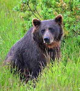 01,DA014,DN,Alaska Bear