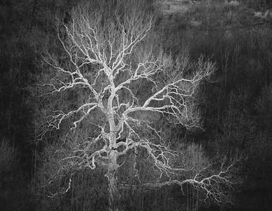 DA054,DB,The_Old_Sycamore_Tree
