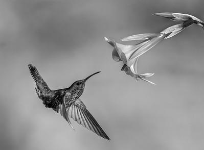 DA061,DB,Hummingbird