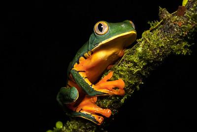 DA061,DN,Splendid Leaf  Frog