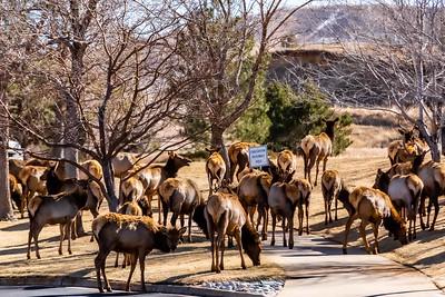 DA040,DN,Colorado_Elk_Trespassing_On_Human_Areas_Waiting_For_Evacuation-0706