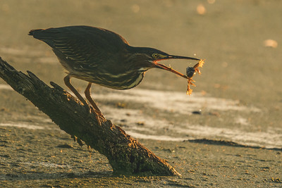 A green heron tosses a frog at the Celery Bog in West Lafayette, Indiana