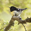 A Grade Honours, Barbara Lee - NZ Tomtit - Juvenile