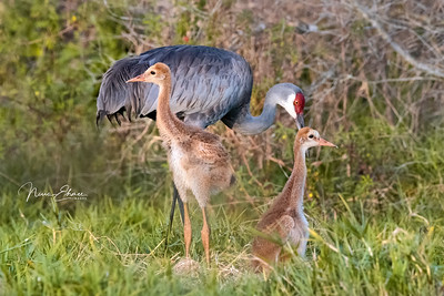 Sandhill Cranes at the Nest
