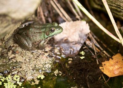 Green Frog @UM Botanical Garden