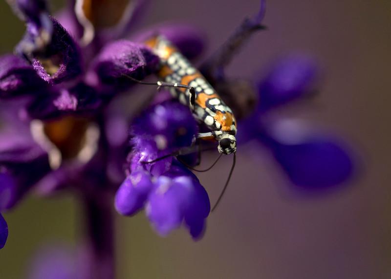 Orange beetle on purple flower