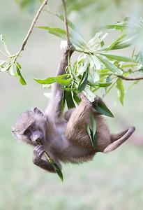 Hanging Baboon