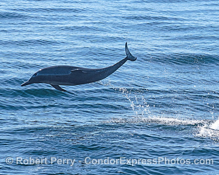 A leaping long-beaked common dolphin silhouette.  Loads of fun!