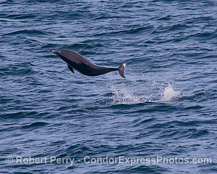 Leaping offshore bottlenose dolphin.