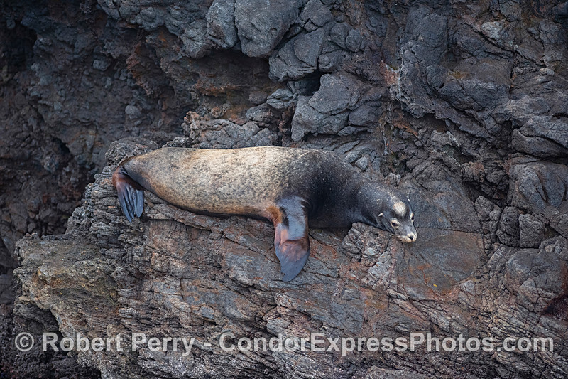 Male California sea lion on volcanic wall, entrance to Painted Cave.