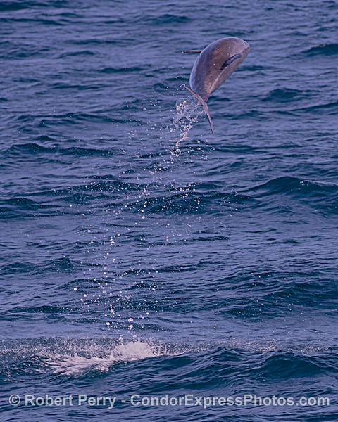 Leaping high - offshore bottlenose dolphin.