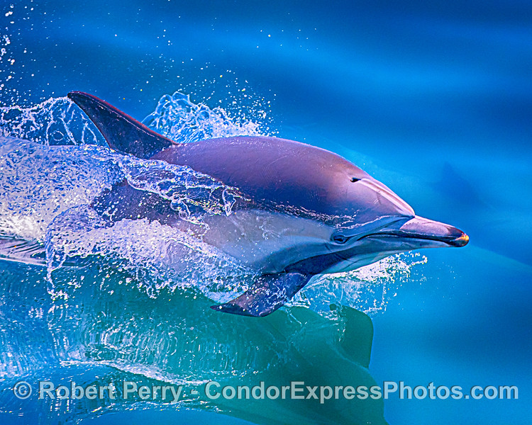 Delphinus capensis leap CLOSE 2020 06-11 SB Channel-c-054