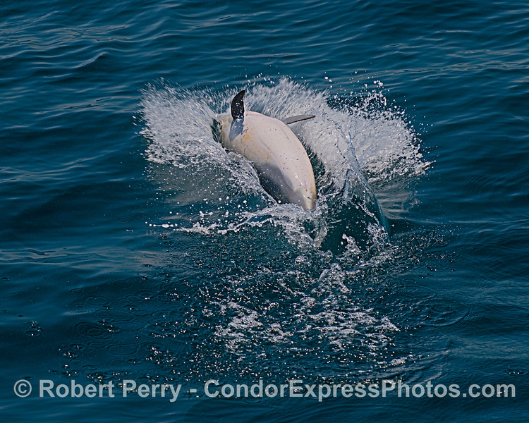 Delphinus delphis leap-splashdown 2020 06-11 SB Channel-c-011