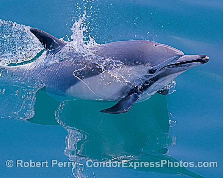 Delphinus capensis leap CLOSE 2020 06-11 SB Channel-c-053