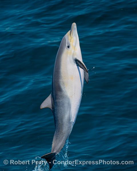 Delphinus delphis leaping VERTICAL 2020 06-11 SB Channel-c-045