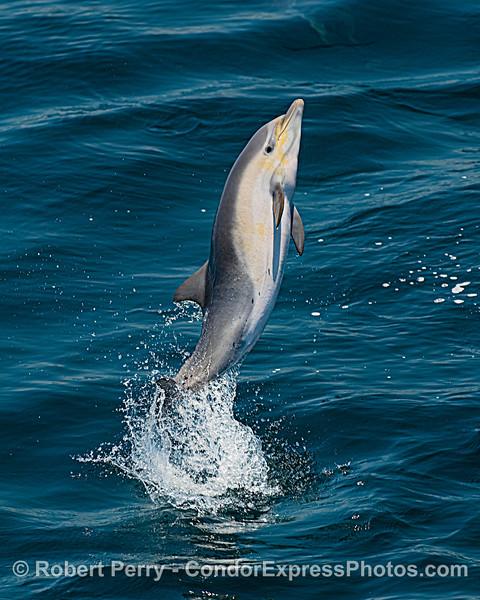 Delphinus delphis leaping 2020 06-11 SB Channel-c-019
