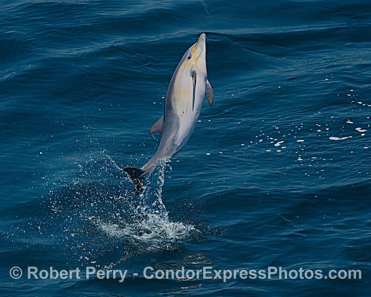 Delphinus delphis leaping 2020 06-11 SB Channel-c-020