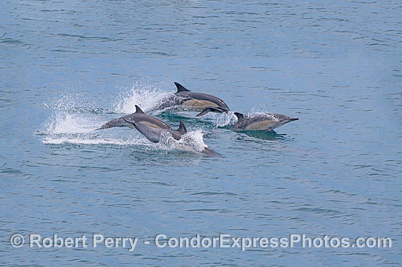 Delphinus capensis 2020 06-12 SB Channel-c-002