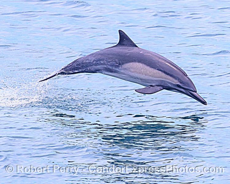 Delphinus capensis leaping 2020 06-12 SB Channel-d-008