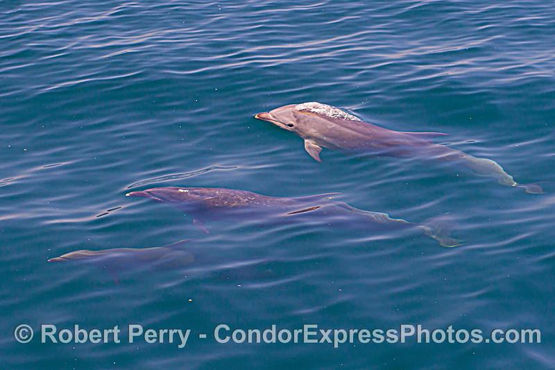 Tursiops truncatus offshore JUV 2020 06-15 SB Channel-d-142