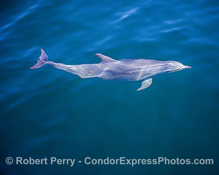 Tursiops truncatus offshore UW 2020 06-15 SB Channel-d-002