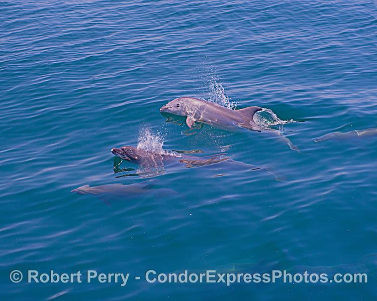 Tursiops truncatus offshore 2020 06-15 SB Channel-d-143