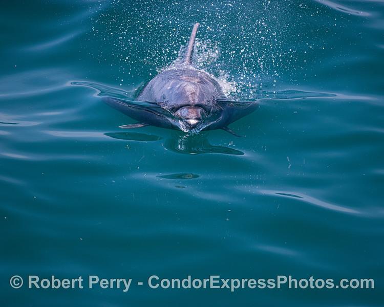 Tursiops truncatus offshore UW face-on 2020 06-15 SB Channel--080